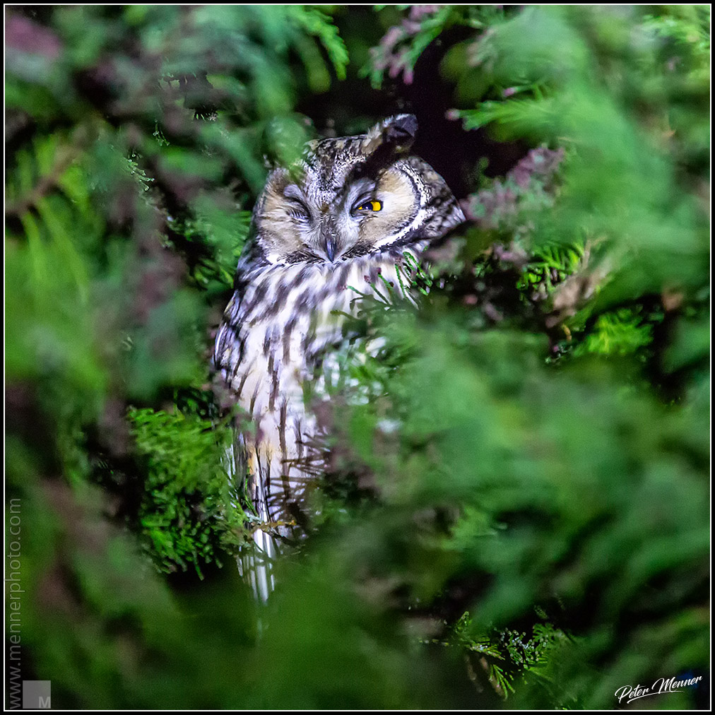 wl_ofi_long_eared_owl_08.jpg