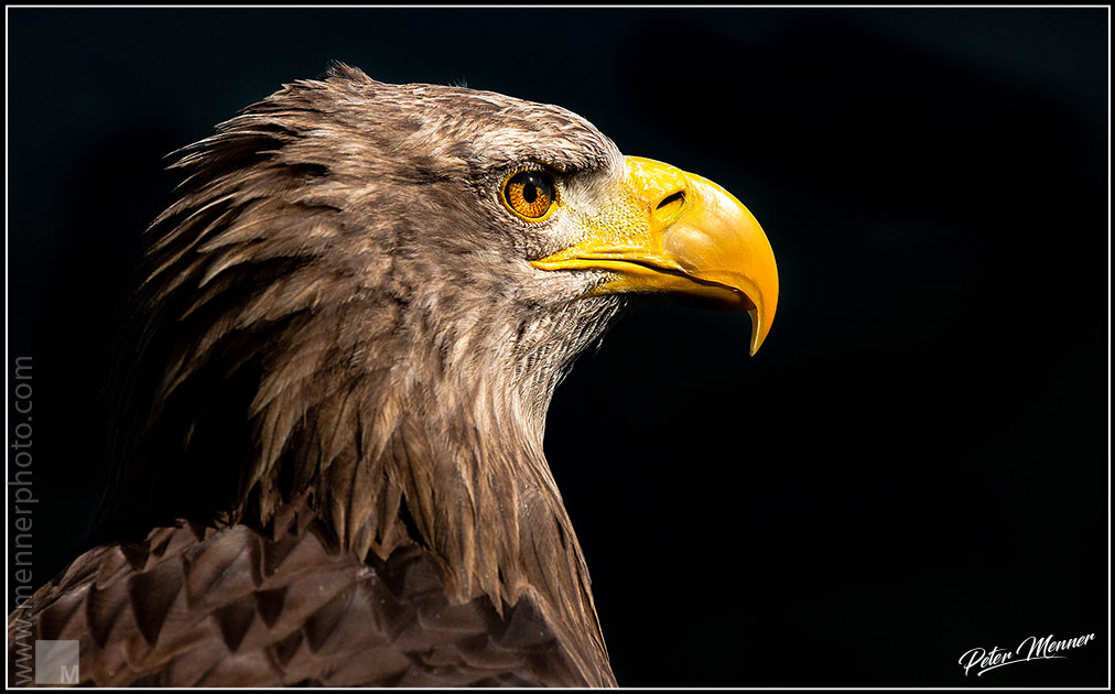 wl_gut_white_tailed_eagle.jpg