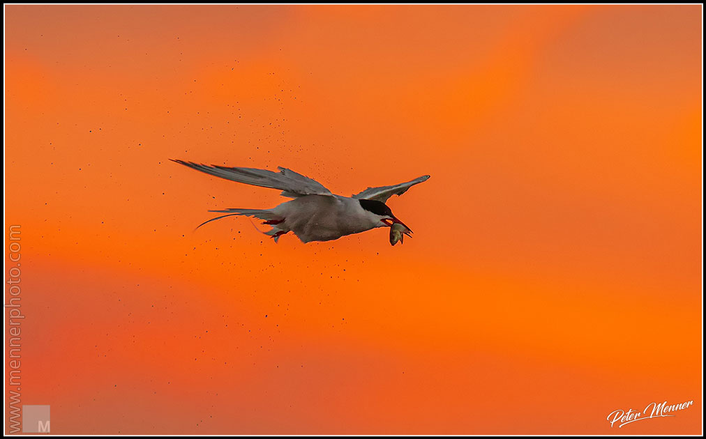 wl_fed_common_tern_06.jpg