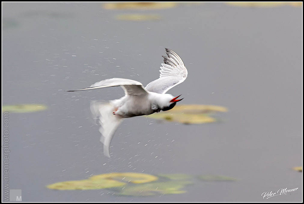 wl_fed_common_tern_08.jpg