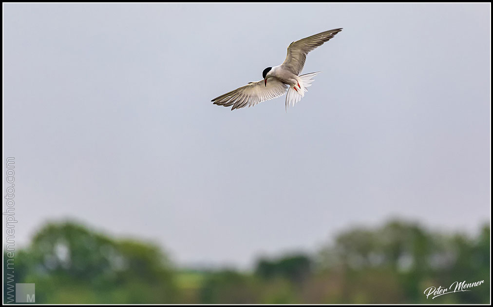 wl_fed_common_tern_10.jpg