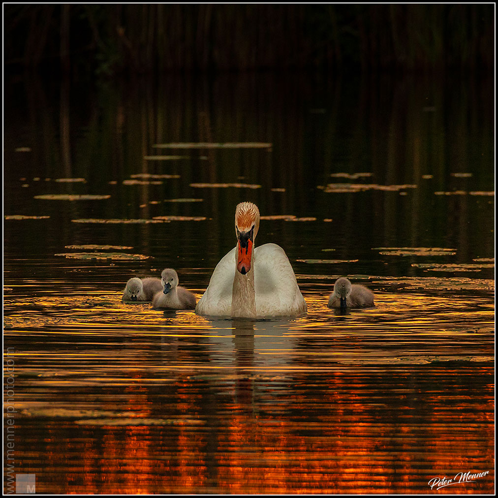 wl_fed_swan_family_12.jpg