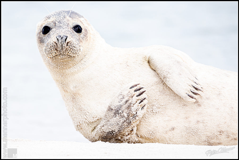 wl_hel_harbor_seal_01.jpg